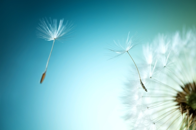 dandelion-flower-3000x2000-dandelion-seeds-hd-7474